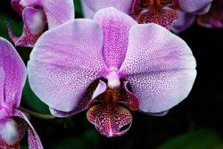 Purple_Orchid_by_faelai
