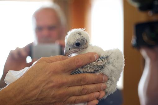 Falcon Fledgling