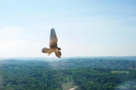 Dorothy the Peregrine Falcon